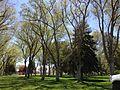 2014-05-02 13 56 46 Siberian Elm grove in the Elko City Park.JPG