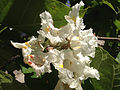 2014-06-12 10 46 20 Catalpa speciosa flowers in Winnemucca, Nevada.JPG