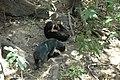 2014 Borneo Luyten-De-Hauwere-Sun-Bear-02.jpg