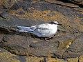 2016-08-17 Sterna dougallii, St Marys Island, Northumberland 12.jpg