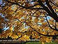 2016-11-18 11 39 50 Norway Maple autumn foliage in Franklin Farm Park in the Franklin Farm section of Oak Hill, Fairfax County, Virginia.jpg
