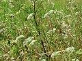 20160704Chaerophyllum bulbosum1.jpg