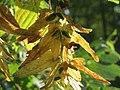 20160831Carpinus betulus3.jpg