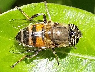 Eristalinus taeniops - Female