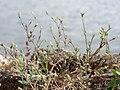 20170723Arenaria serpyllifolia2.jpg