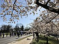 2018-04-08 09 41 31 Yoshino Cherries blooming along Independence Avenue adjacent to the north shore of the Tidal Basin during the 2018 Cherry Blossom Festival in Washington, D.C..jpg