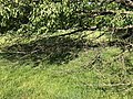 2019-05-26 16 48 30 A Cherry tree broken during a storm, with all the lower leaves having been eaten by deer, along a walking path in the Franklin Glen section of Chantilly, Fairfax County, Virginia.jpg