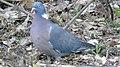20190504 Common wood pigeon 02.jpg