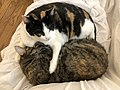 2020-04-12 10 59 30 A Calico cat and a tabby cat cuddling on a couch in the Franklin Farm section of Oak Hill, Fairfax County, Virginia.jpg