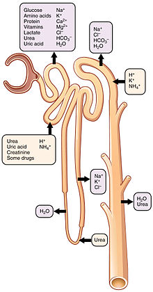 2618 Nephron Secretion Reabsorption.jpg