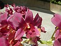 3905Orchids in the Philippines 08.jpg