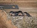 5 jonge zwaluwen in een nest dat is gebouwd in de vogel kijkhut.jpg