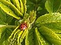 6Harmonia axyridis.jpg