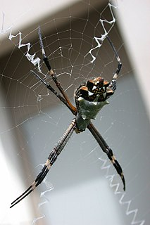 <i>Argiope argentata</i> Species of spider