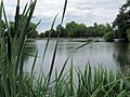 A Glimpse through the Bullrushes at Mount Pond, Clapham Common - geograph.org.uk - 1393864.jpg