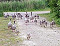 A Profusion of Geese - geograph.org.uk - 444268.jpg
