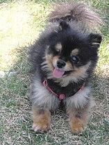 A black & tan Pomeranian that lost an eye due to an infection.jpg