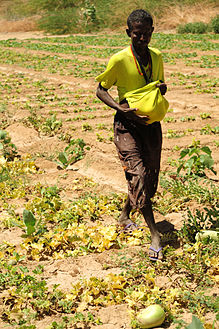 A men picks fruit near Dikhil, Djibouti.JPG