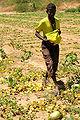 A men picks fruit near Dikhil, Djibouti.JPG