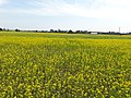 A mustard field in Lakhimpur, Assam1.jpg