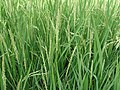 A paddy field close up.JPG