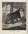 A raging aurochs turning up ground with its horns in an encl Wellcome V0021074.jpg