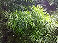 A scene of botanical garden Ooty 20.jpg
