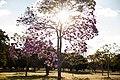 Aberta a temporada de ipês roxos em Brasília (28967973278).jpg