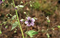 Abutilon longicuspe flower