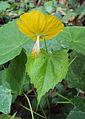 Abutilon persicum 09.JPG