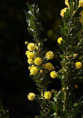 Description de l'image Acacia armata B.jpg.