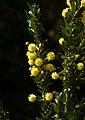 Acacia armata B.jpg