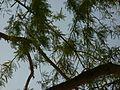 Acacia branches.JPG
