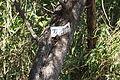 Acacia dealbata (22433371155).jpg