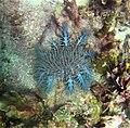 Acanthaster planci in Muna Island.jpg