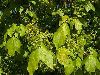 Acer campestre - Image: Acer campestre 002