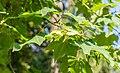 Acer cappadocicum in La Jaysinia (6).jpg