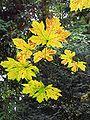 Acer macrophyllum foliage Portland.jpg