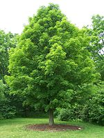 A sugar maple, the state tree of Wisconsin