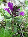 Acinus alpinus.jpg