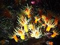 Actinia, Sunshine Aquarium.jpg