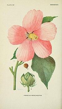 Addisonia (PLATE 099) (8592460558).jpg