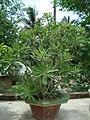 Adenium tree 1.JPG