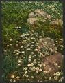 Adirondack mountain wild flowers-LCCN2008679641.tif