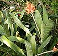 Aechmea flavorosea HabitusInflorescence BotGardBln1006k.jpg