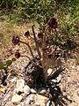 Aeonium arboreum cv Sos Alinos Cala Liberotto 16072014 40.4333443, 9.7743612.jpg