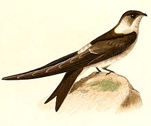 Andean swift httpsuploadwikimediaorgwikipediacommonsthu