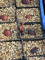 Aesculus californica germinations (11890732085).jpg