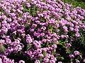Aethionema armenum 'Warley Rose' 3.jpg