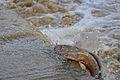 African Catfish (Clarias gariepinus) falling back downstream after missing its jump ... (16518611841).jpg
